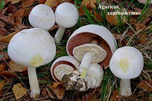 5 Agaricus xanthodermus