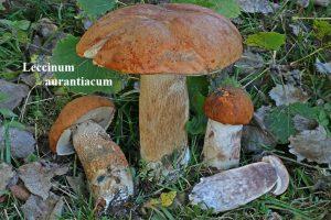 7 Leccinum aurantiacum